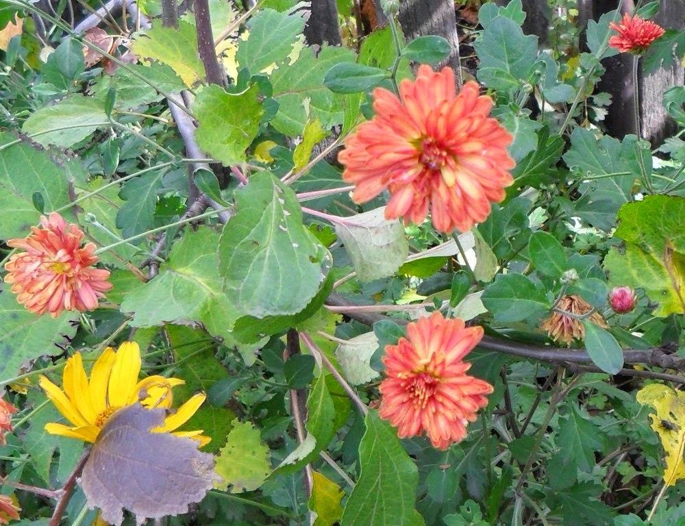 Замечательные хризантемы