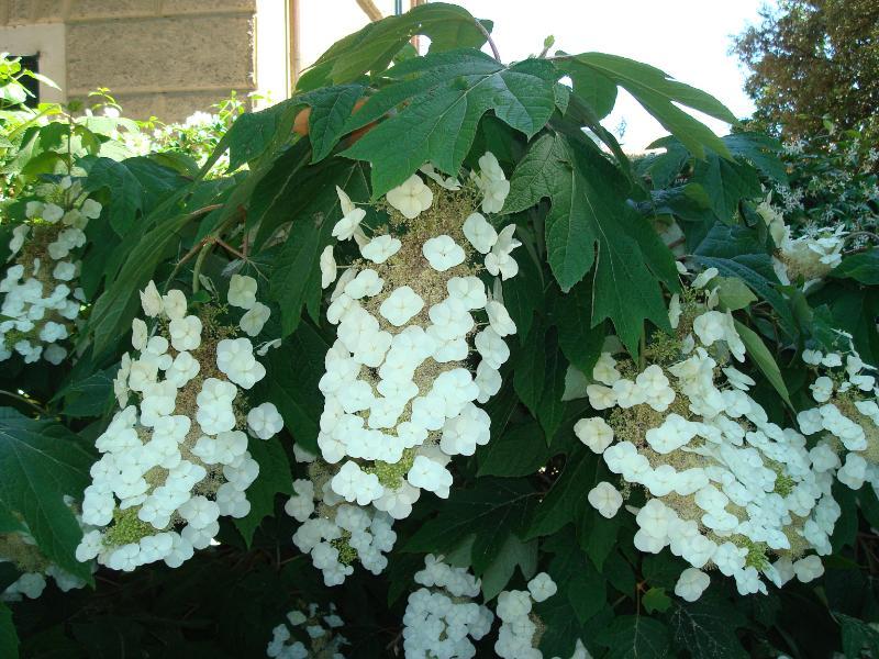 Estremamente Creattivando: In giardino non possono mancare le Ortensie MY59