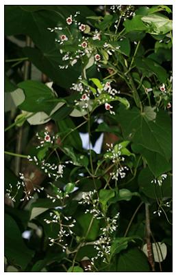 "Medicinal Uses of  Paederia scandens,""Gandheli"",""Parsarini"",""Gandha Prasarani"", Herbal Medicinal Plant,Herbal Medicos"
