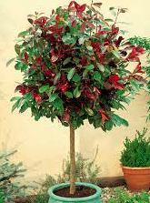 il mondo in un giardino: tutti pazzi per la siepe di photinia rossa - Piante Sempreverdi Da Vaso Resistenti Al Freddo E Al Caldo