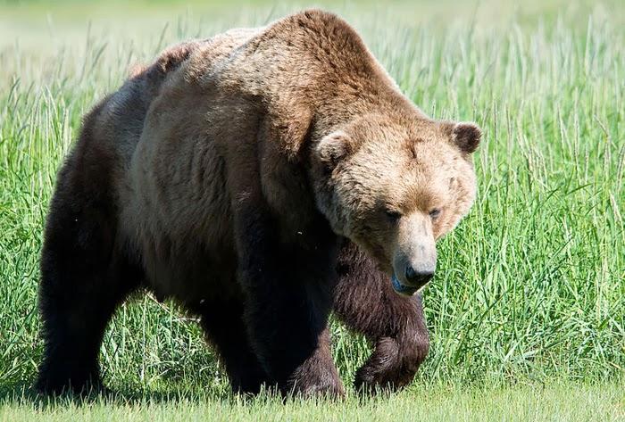 דוב בניו יורק