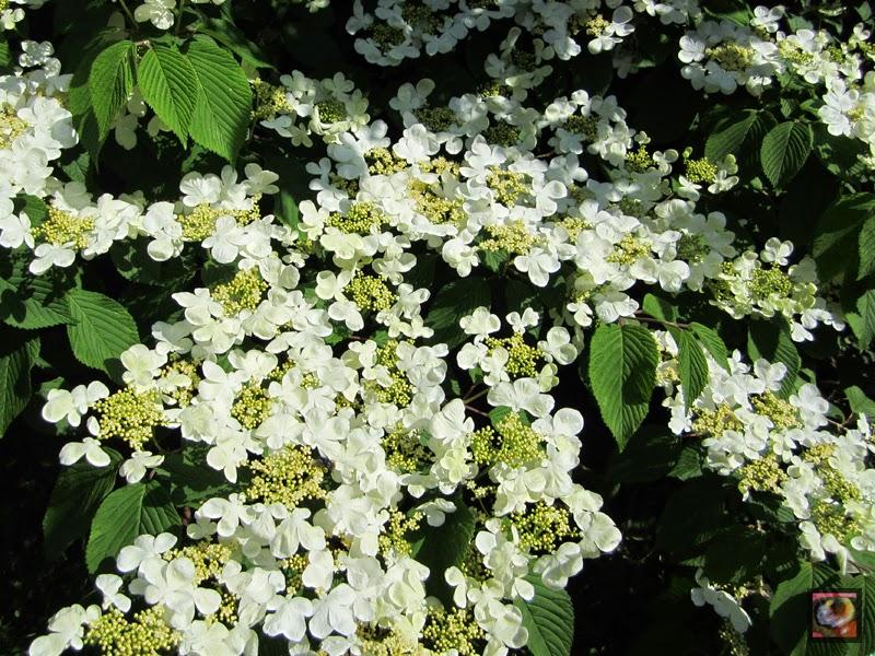 """Viburnum plicatum """"Shasta"""" (Viburno)"""