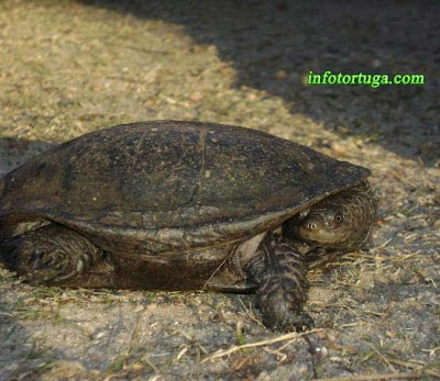 Spix's swamp turtle, Spiny-neck turtle