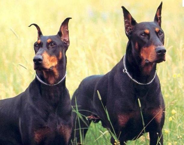 Pastor Alemão Casa Alsaciana Cachorro E Outros Placa De Casa raças disponíveis