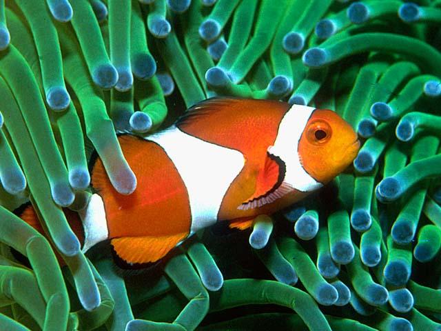 Clownfish anemonefish for Clown fish habitat