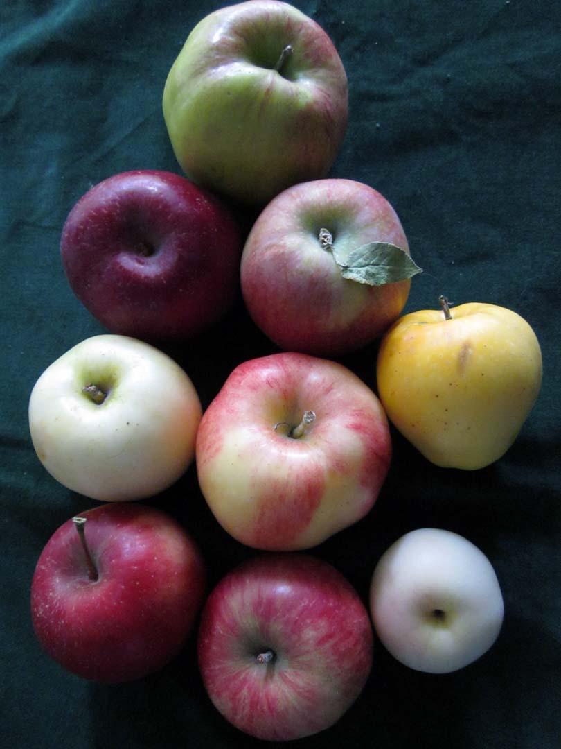 Heirloom Apple Trees Gallery