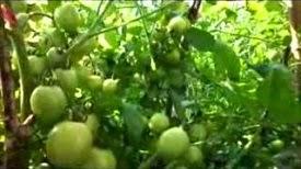 Cara Baru Bercocok Tanam Tomat Dengan Pola HCS