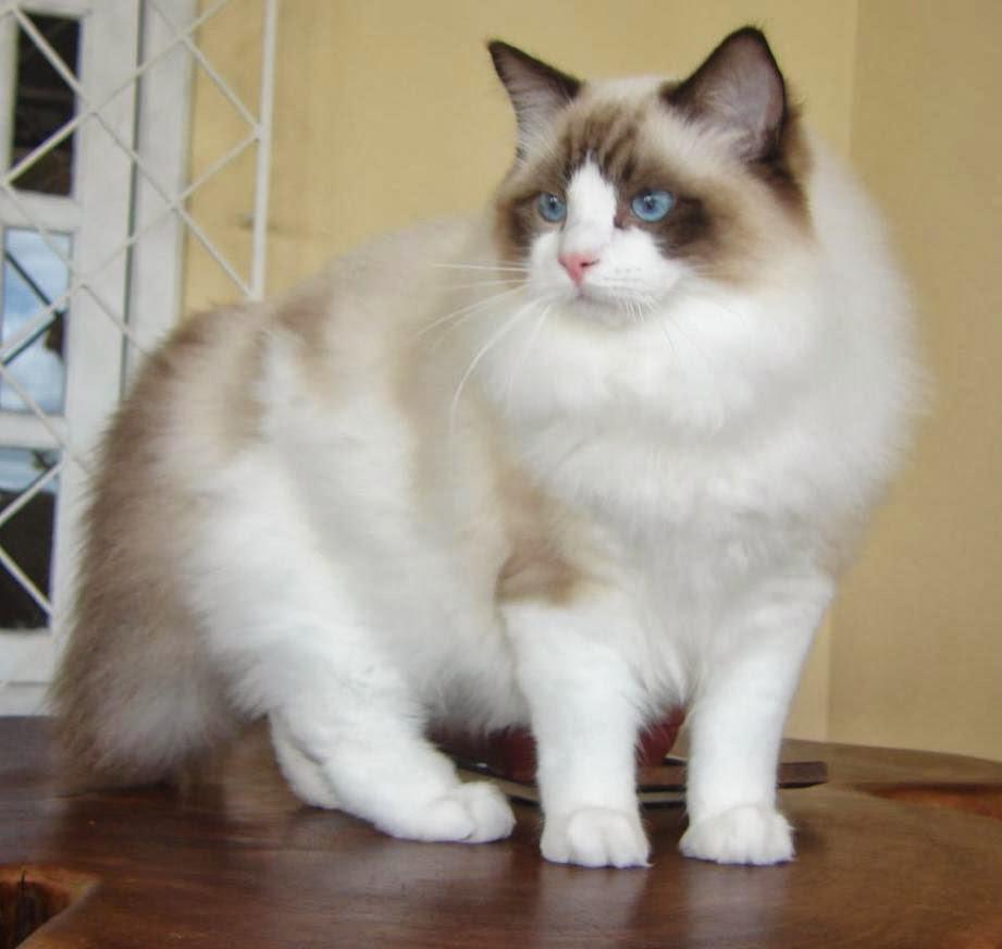 7 Jenis Kucing Paling Populer Di Negara Sakura Jepang