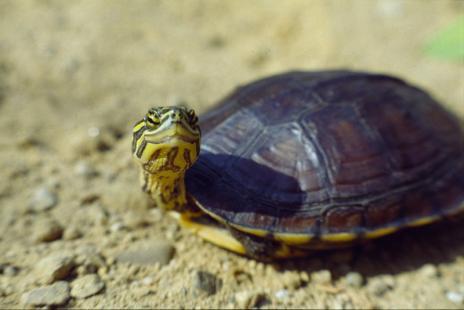 ciça science e outras histórias: As 10 <b>tartarugas</b> mais ameaçadas <b>...</b> 2014