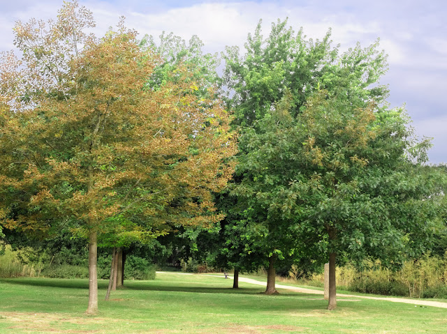 Ornamental trees on cut lawn surrounded by other trees