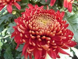 Piante e fiori crisantemo - Crisantemi in vaso ...