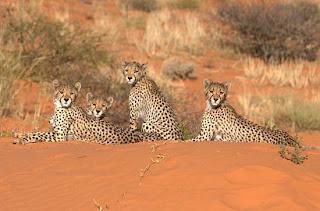 Foto Gerombolan Cheetah