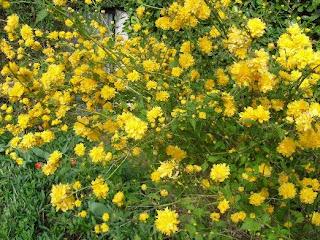 Ma plan te jardin avril 2011 - Arbuste fleurs jaunes printemps ...