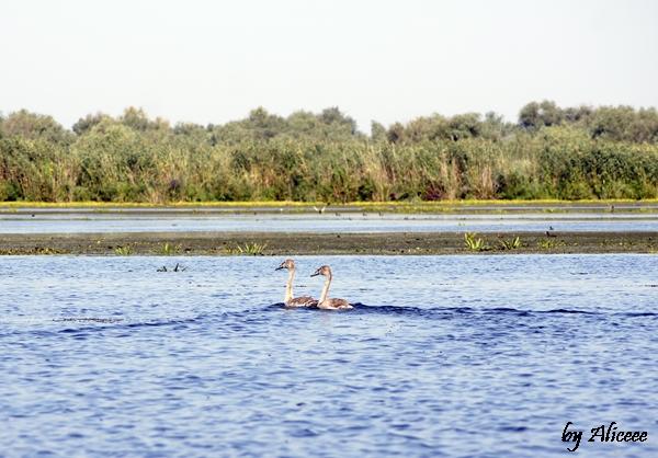 doua-gaste-pe-lac-delta-dunarii