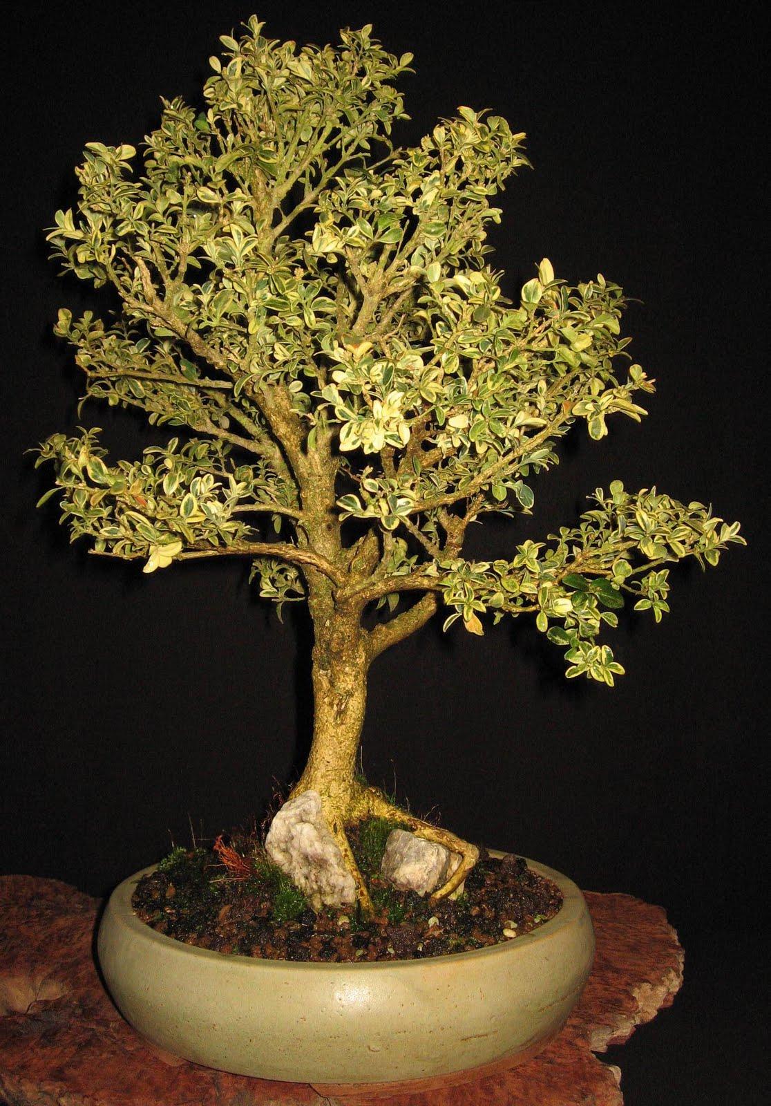bonsai das sch nste hobby der welt sommerliche bonsaifotos. Black Bedroom Furniture Sets. Home Design Ideas