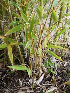 cultivo de bambú en maceta