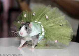Fashionista New York berbelanja pakaian desainer untuk tikus peliharaan  mereka Foto Fashion Show Tikus Di New York
