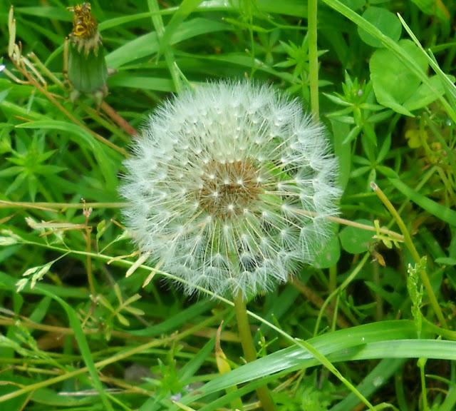 Dandelion seed head at White Rock Lake