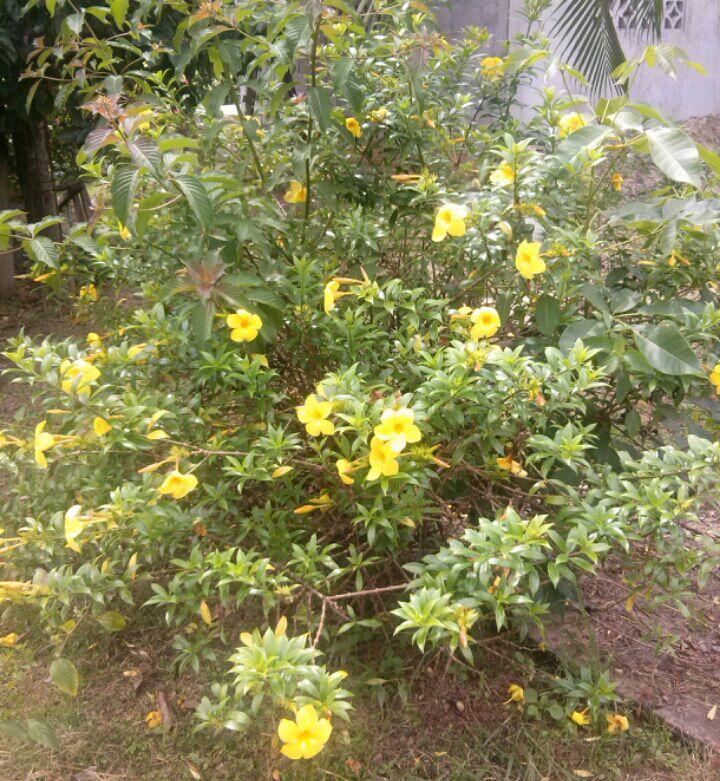 Plantas de panam plantas ornamentales de panam for Plantas ornamentales para parques