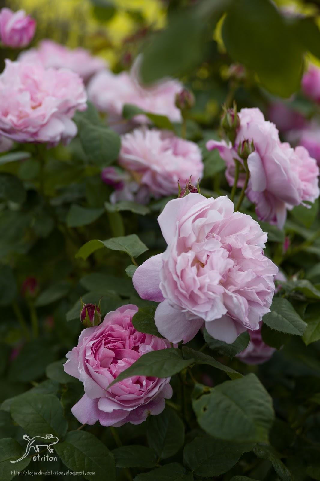 Le jardin de triton sc nes de jardin pisode 2 - Beau jardin rose and geranium ...