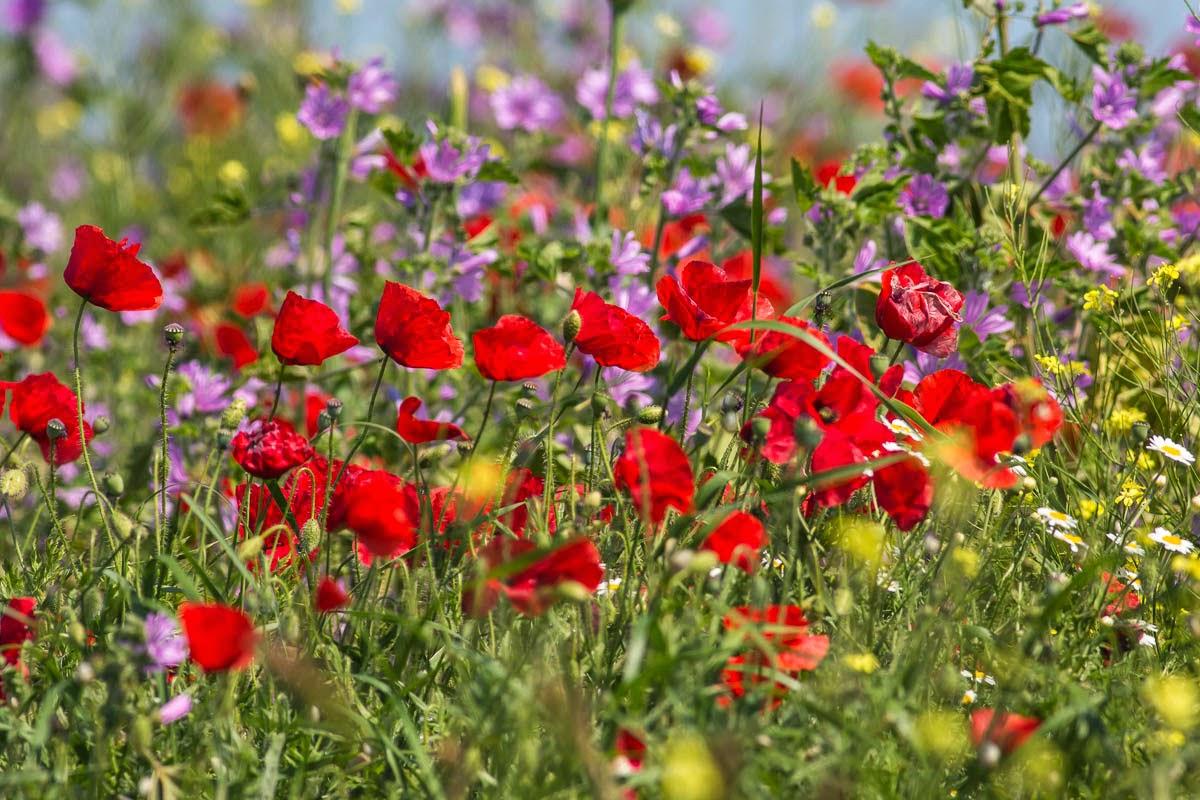 Spring flowers photography in Bulgaria, copyright Iordan Hristov