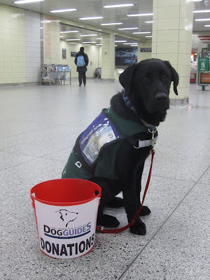 Black lab puppy Romero is sitting in the middle of a Toronto subway station, looking like a perfect dog guide ambassador! He is decked out in his Blue Jays collar, red leash, and green future dog guide jacket. Over top of his jacket, he is wearing a smaller purple vest. On each side of the vest it says DONATION DOG and there is a plastic pocket to hold donations. There is a blue five dollar bill in the pocket of Romero's jacket. In front of Romero is a red plastic Dog Guides donation bucket. Behind Romero are various pillars (we are on the lower level of the station), a small convenience store, and escalators leading down to the tracks. There is one person wearing a black jacket and light blue backpack heading towards the escalators.