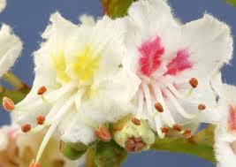 Homeopathy bach flower nutritional healings white chestnut white chestnut mightylinksfo