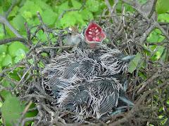 Filhotes de pássaros no ninho