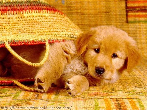 Red puppy.