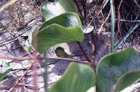 Ipomoea pes-caprae, Padre Island, Texas
