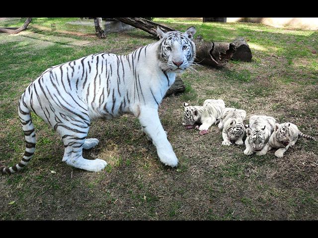 leon y tigre blanco - photo #47