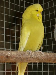 Periquito Inglês amarelo