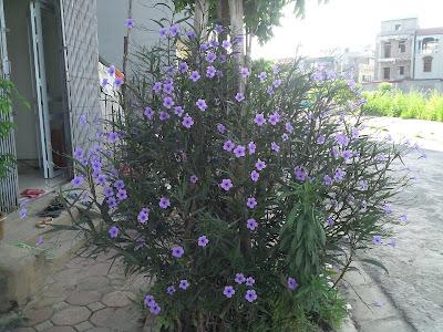 Hoa thạch thảo tím02