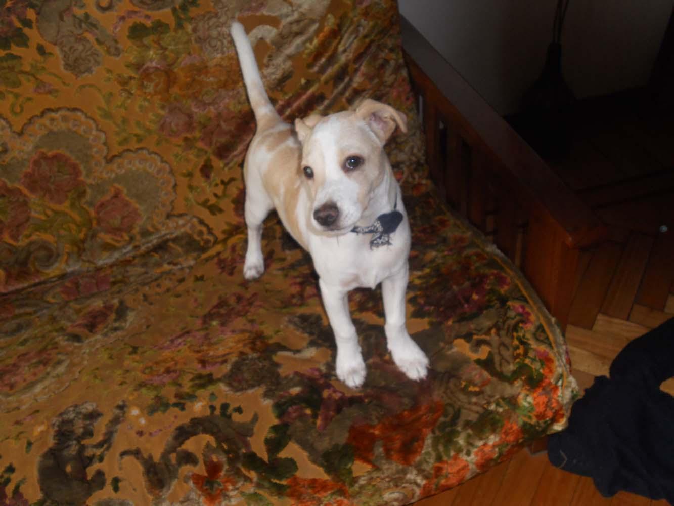 Adoptándonos: Jagger, lindo cachorro color blanco y beige en adopción