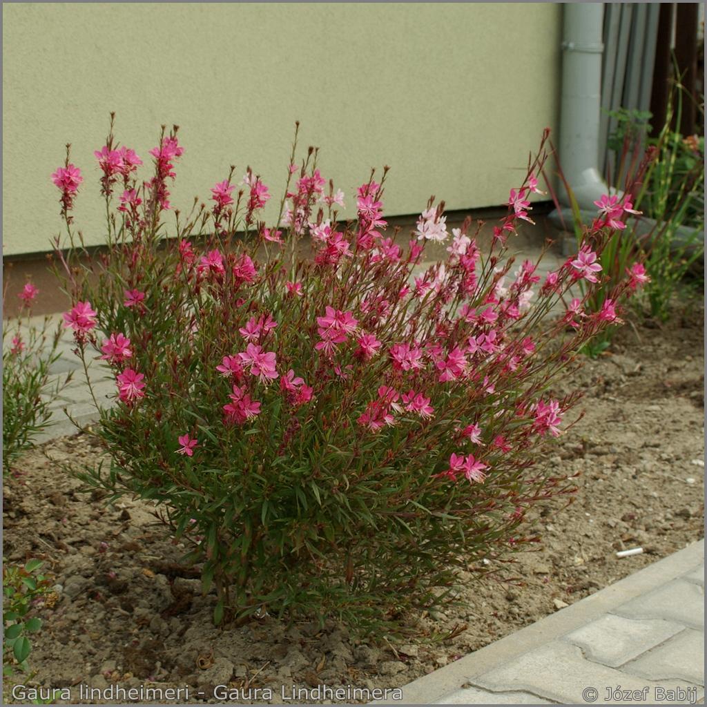 Gaura lindheimeri Growth Habit of flowering plant - Gaura Lindheimera    pokrój kwitnącej rośliny