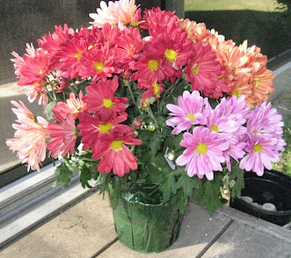 Colorful pot mum plants provide color and beauty while helping to clean indoor air of formaldehyde.