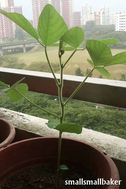 Small Small Baker: Growing edamame (毛豆)