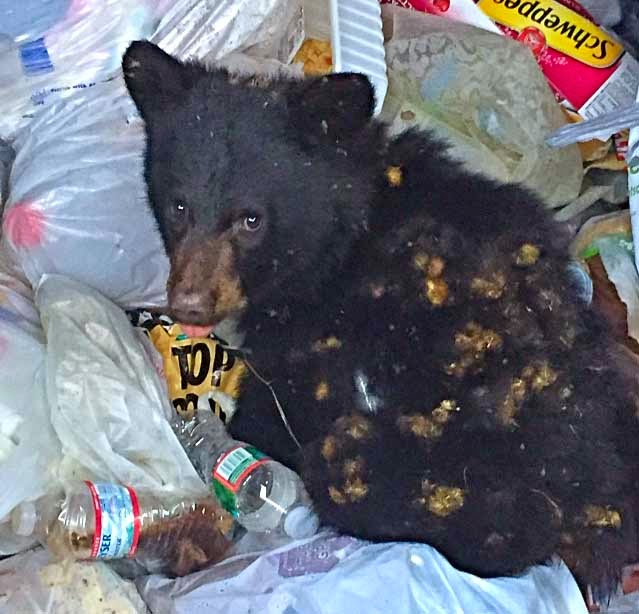 Bear Found in Potsdam Dumpster