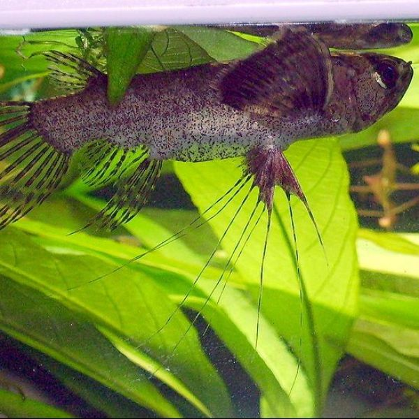 African butterfly fish with pictures fish pictures online for African butterfly fish