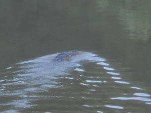 This gator was about 10 min. away from a family swimming in the river.  UFFDA!