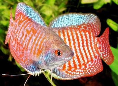 Mengenal Lebih Dekat Ikan Gurame Mini ( Dwarf Guramy )