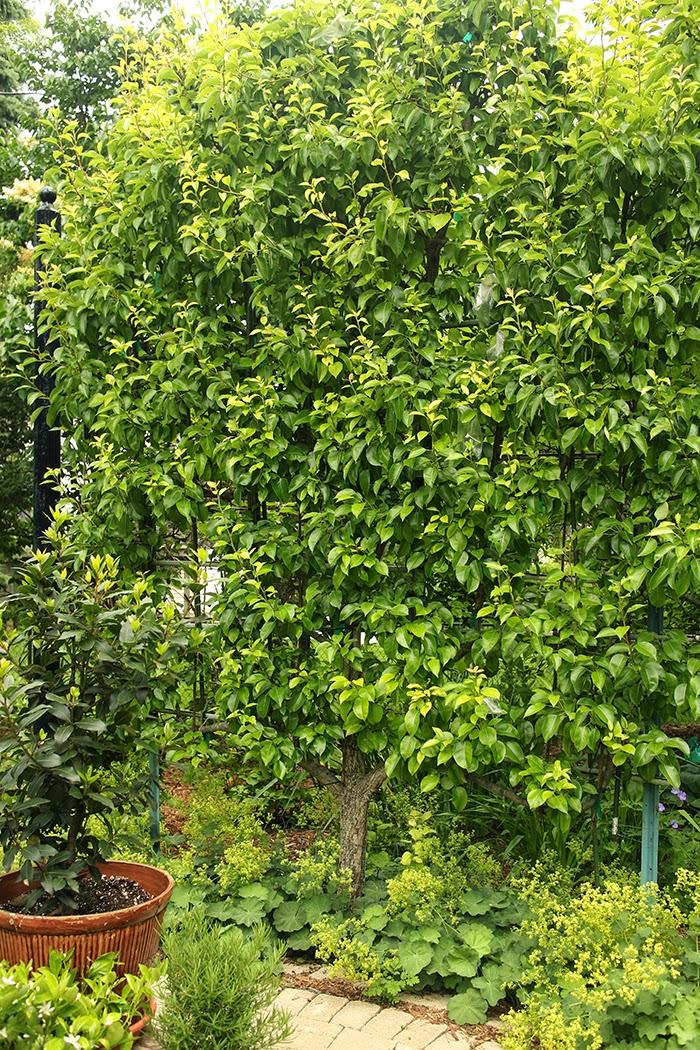Espalier fruit tree in SE Wisconsin