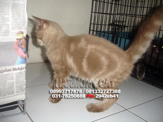 Hamster Dan Kucing Persia Murah Surabaya Kucing Anggora
