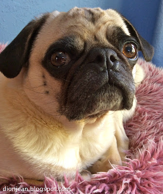 Pug with big eyes looking at the camera