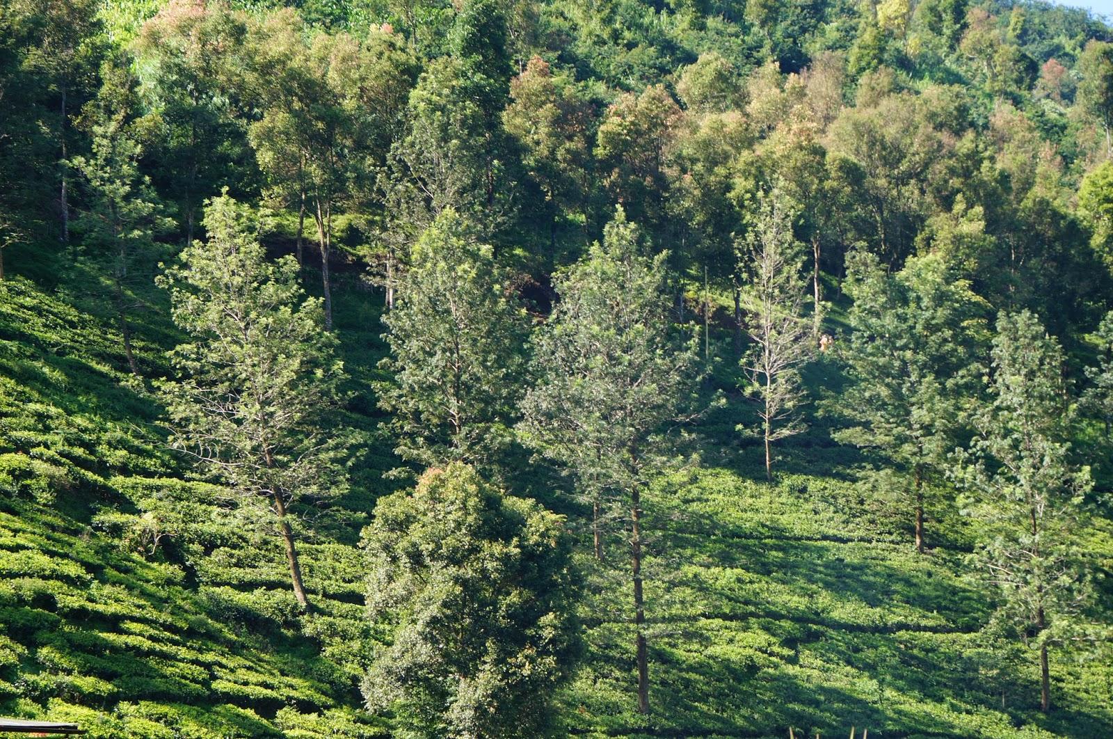 Kebun Teh Puncak Bogor