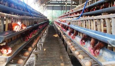 Cara Alami Untuk Meningkatkan Produktifitas Ayam Petelur