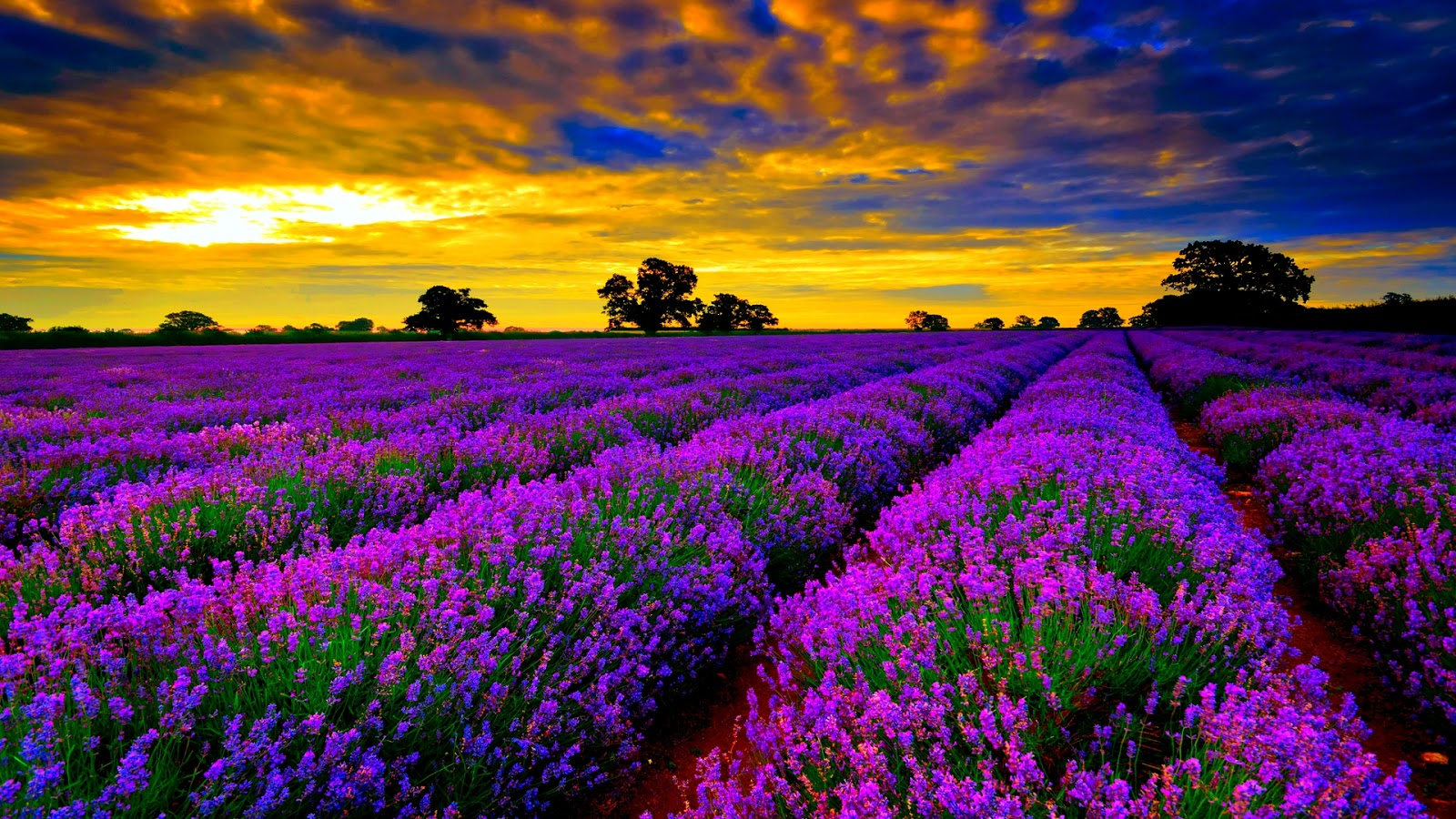 Lavender winter flowers melbourne florist have you got time to take tour around any lavender farm in melbourne sure youll lose your thought into it and thats great izmirmasajfo