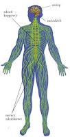 Układ nerwowy człowieka
