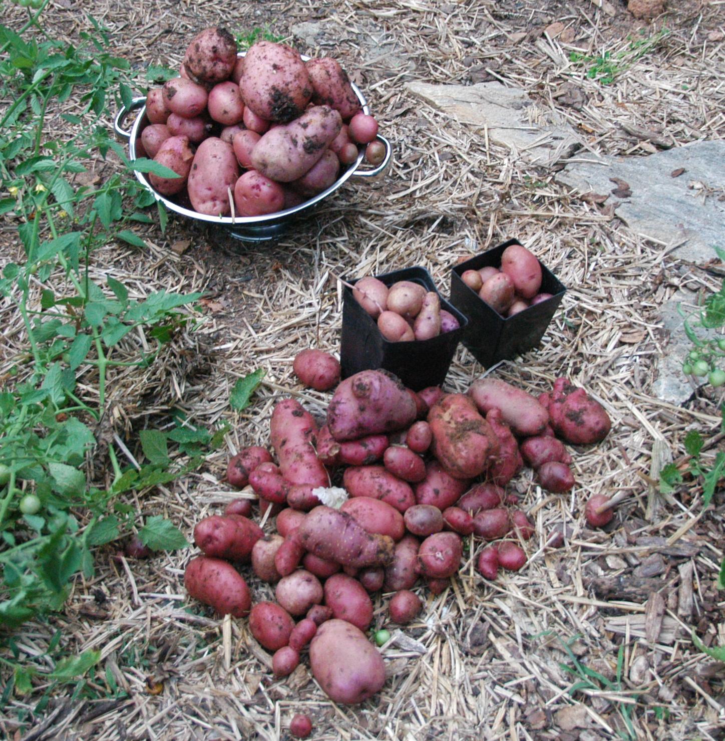 Natural Gardening Potato Harvest
