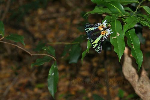 Chrysiridia ripheus ou Uranie de Madagascar